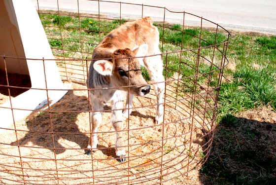 brown baby cow
